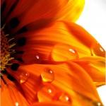 turuncu_cicek
