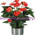 antoryum çiçeği bakımı nasıl yapılmalıdır yapılır